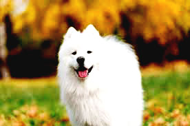 Samoyed the best friend
